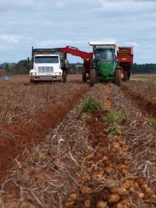 harvesting potatoes on the Robinson Farm